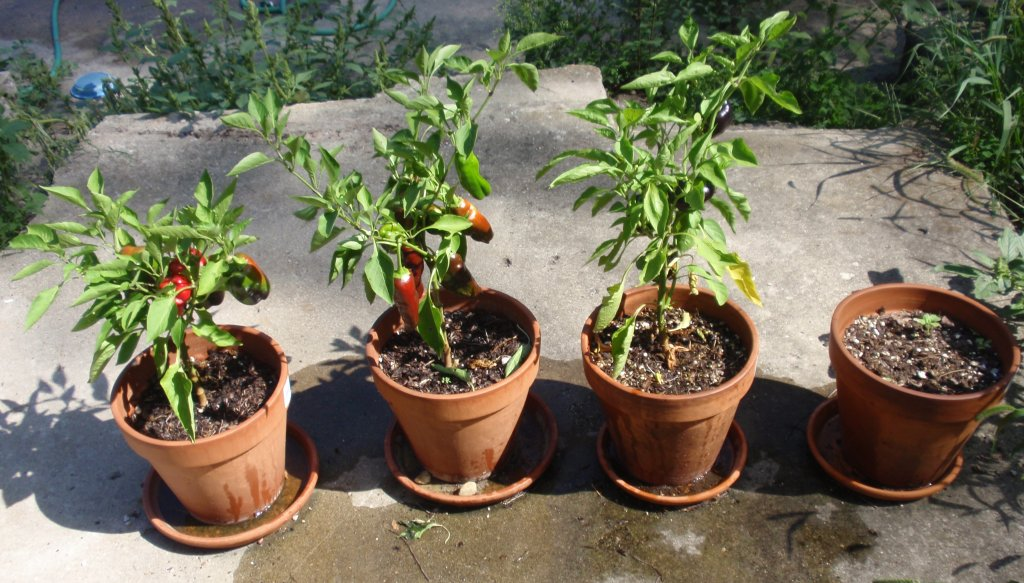 Perennial Bell Peppers can be grown in contianers.