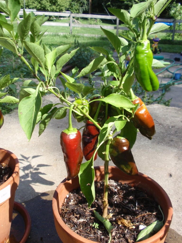 Sweet Chocolate Bell Peppers grown in a container.