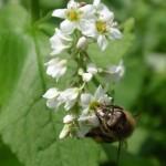 Honey Bee On Buck Wheat