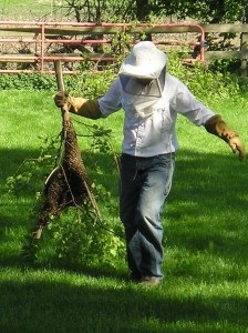 Carrying a swarm of honey bees on a tree branch.