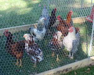 Roosters in a chicken tractor.