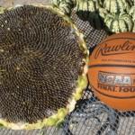 Mongolian Giant Sunflower Next To A Basketball