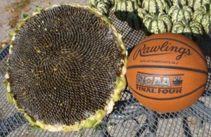 Mongolian Giant Sunflower Next To A Basketball