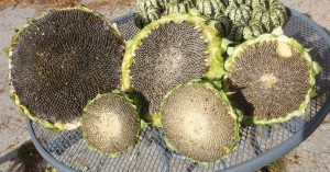 Multiple Mongolian Giant Sunflower Seed Heads
