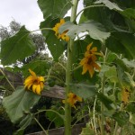 Mongolian Giant Sunflower With Multiple Flowers