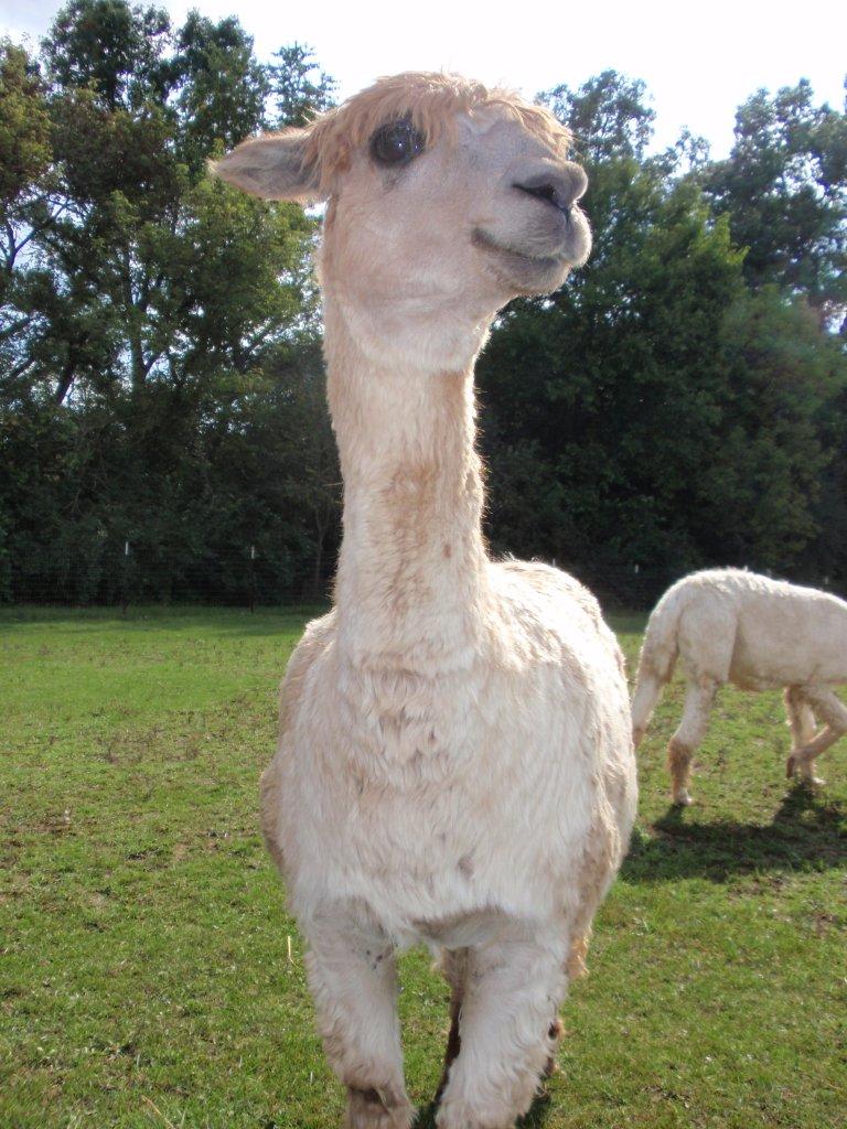 Alpaca Face Alpaca Manure Makes Great