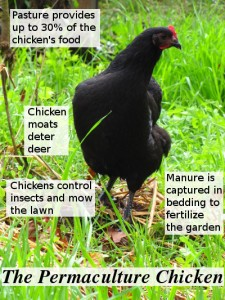 Chicken with permaculture features.