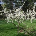 Flowering plum tree.