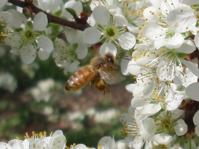 Honey bee with full pollen sac.
