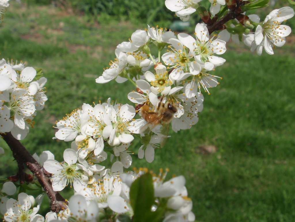 Honey bee pollinates a plum tree.