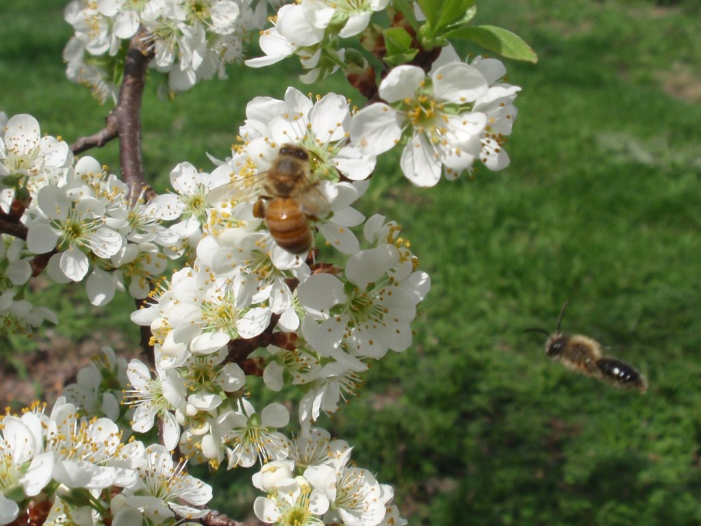 Honey bee pollinating plum tree with a native bee.