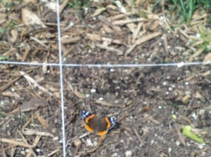 Butterfly landed in a square foot garden.