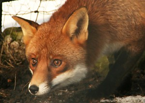 Close up of fox staring