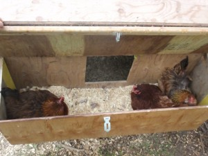 Three hens in a nest box.