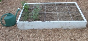 Parsley, thyme, and sage in a square foot garden.