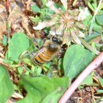 Honey bee foraging on clover.