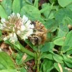 Honey bee on clover