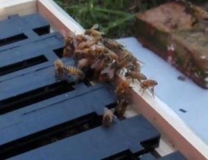 Close up of honey bees fanning an attractant pheremone.