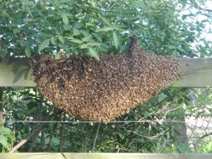Swarm of honey bees on a fence rail.