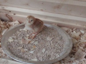 Baby chick standing in food dish.