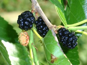ripe mulberries