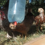 Cuckoo Marans Hen watches as her baby chick drinks.