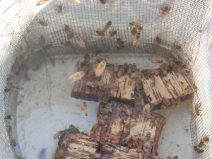 Honey bees drinking from a water bucket.