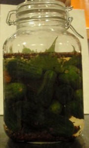 Lacto fermented cucumber pickles