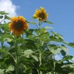 Mongolian Giant Sunflowers