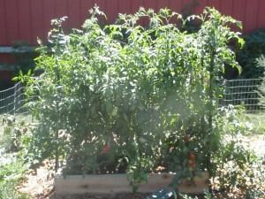 tomato vines as tall as the trellis