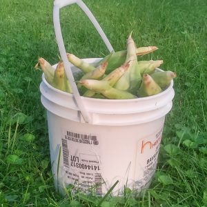 Corn on the cob soaking in a food grade plastic bucket