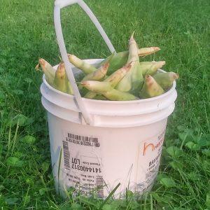 Corn on the cob soaking in a food grade plastic bucket