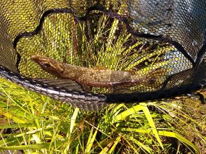 Northern pike in a net