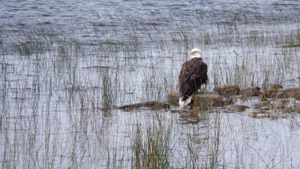 bald eagle sitting on a rock
