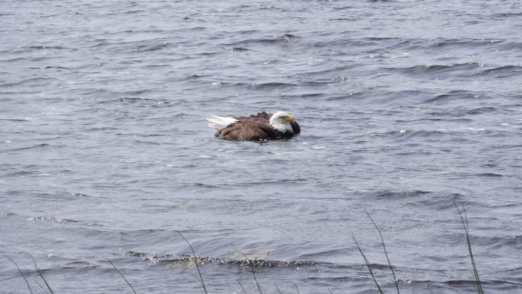bald eagle bobbing on Homer Lake