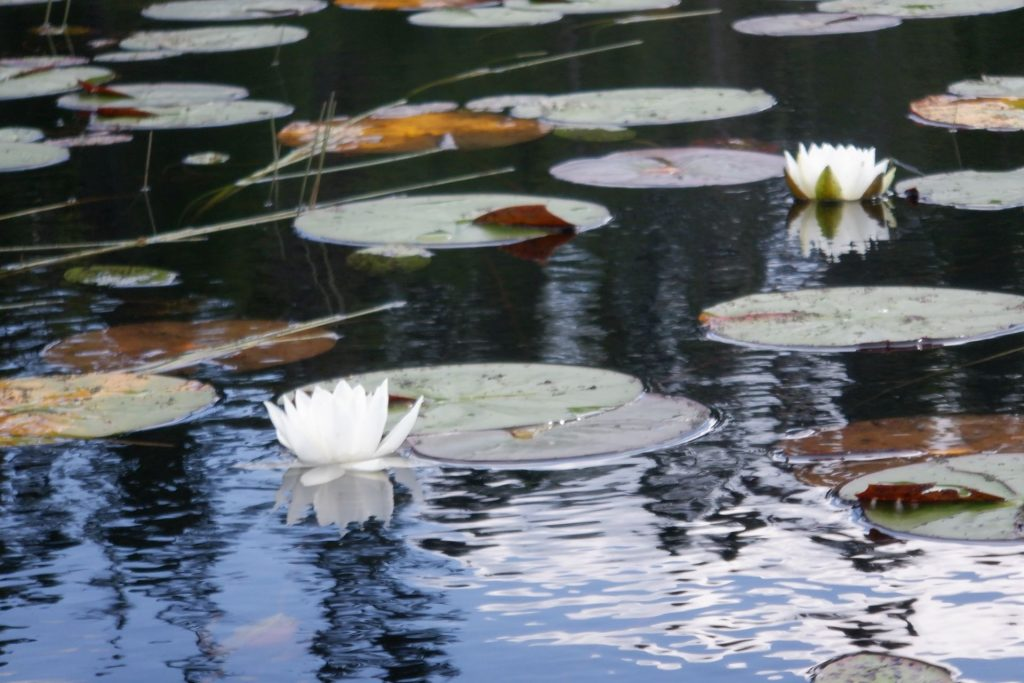 lilly pads and two flowers